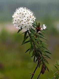 Suopursu, Rhododendron tomentosum - Kukkakasvit - LuontoPortti Forest Flowers, Wild Flowers, Forever Green, White Plants, Trees And Shrubs, Art Background, Botany, Wonders Of The World, Finland