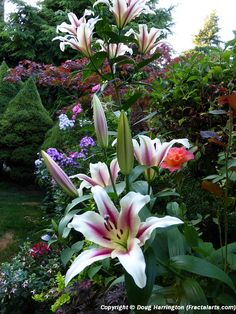 Flowers in a section of my garden, oriental lilies, roses, phlox, alstroemeria, fuchsias