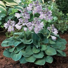 A miniature Hosta with soft, densely-held blue-green foliage.