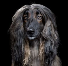 These dogs have better hairdos than we do. You could almost take a picture of that sassy Afghan, Fhiroz, above, to the salon. the next time you go in.