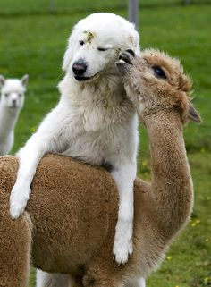 Alpaca and Cattle dog.  Soo cute :)