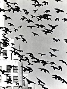 Paul Jonas - Doves, Undated