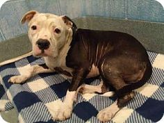 Upper Marlboro, MD - American Pit Bull Terrier Mix. Meet SAGE, a dog for adoption. http://www.adoptapet.com/pet/11823404-upper-marlboro-maryland-american-pit-bull-terrier-mix