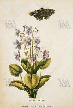 Violets and red admiral butterfly, by Jacques Le Moyne de Morgues (1530-088). Watercolour. France, c.1568.     Copyright © Victoria and Albert Museum, London / V Images -- All rights reserved.