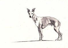 Pencil drawing of a whippet original wall art  whippets