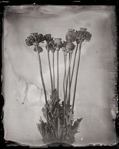 """The original images are either 4x5"""" wet plate collodion on clear glass"""