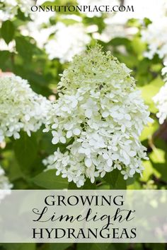 Growing Limelight Hydrangeas Tips from a DIY gardener to get giant abundant blooms Advice on pruning and spacing Hydrangea Tree, Limelight Hydrangea, Hydrangea Garden, Garden Shrubs, Lawn And Garden, Garden Plants, Shade Garden, Hydrangea Landscaping, Hydrangeas