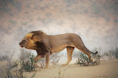 Ein Löwe trotzt in einem ausgetrockneten Flussbett des Nationalparks Kalahari Gemsbok dem Sturm - völlig unbeirrt vom Fotografen   (Foto von: Chris Johns/National Geographic  )