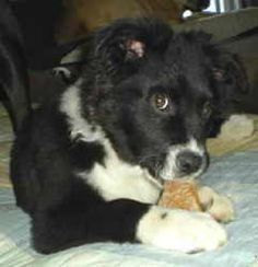 Scooter is an adoptable Border Collie Dog in Winston-Salem, NC. *******Courtesy Listing!**********>>>>courtesy dog listing, please direct all inquiries to please infomation provided within the bio bel...