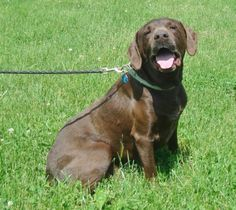 Meet Boo a Petfinder adoptable Labrador Retriever Dog | Hartford, KY | Boo and Mojo were left with family when their owner went out of state. They person kept them for...