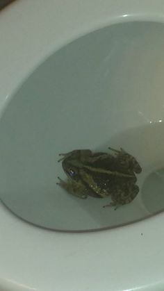 Yes, that is a frog (or a toad) in my toilet.