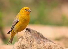 Bitacora de mi Chile: Aves de Chile: Chirigüe Small Birds, Little Birds, Colorful Birds, Pet Birds, Polo Sul, Polo Norte, Bird Watching, Bird Feathers, Wildlife Photography