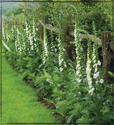 Foxglove for a cottage garden look
