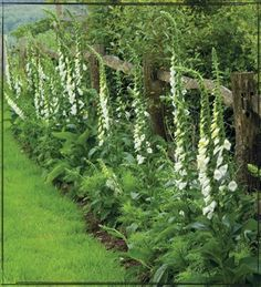 Foxglove for a cottage garden look
