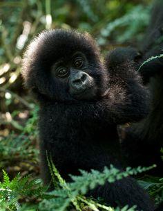 Infant mountain gorilla in Virunga National Park, DRC. Photo by Paul Bertner