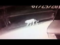 Is a lion on the loose in California, or is it just an old pit bull?