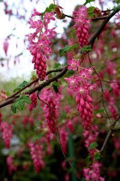 Flowering currant, Ribes sanguineum