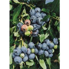 $6.98 1-Count Tifblue Blueberry (L4616)  Item #: 5036 |  Model #: NURSERY. Sweet, light blue fruit  Productive, dependable Heat and drought tolerant