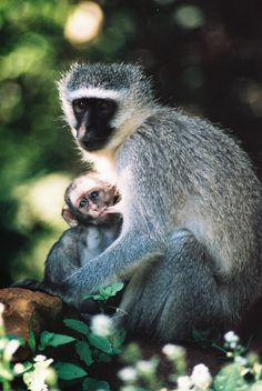 monkey mother and baby drinking