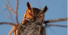 Aves de Rapina BR | Corujas: Eficientes Predadoras