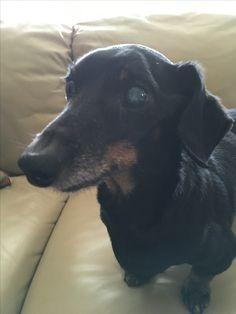 Johann the dachshund #pets