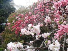 雨が続き、青空が待ち遠しいですね。 同じ木に異なる色の花を咲かせる咲き分けをする花木を紹介します。 こちらはハナモモ'源平枝垂'です。赤の色素が遺伝子により阻害されて白花になるといわれます。当園の'源平枝垂'は平家(赤)優勢です。