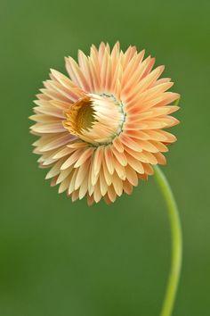 Strawflower ~ Paper Daisy by Ellen McKnight
