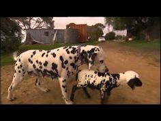 So Cute! This Little Lamb Lost Her Way And Found A New Mother, A Dalmatian! | The Animal Rescue Site Blog