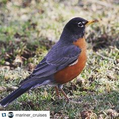 Spring has sprung! A Robin on @beautifulbrierisland! We can't wait!  Thanks @mariner_cruises for a great photo!