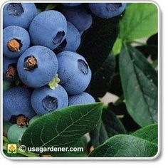 Would like to grow blueberries.
