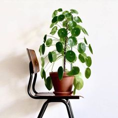 New year new plant goals. What plants and plant goals are on your list for Comment below! Crushing on this beauty of a Chinese Money Plant right now! Pic via -------------------------------- #