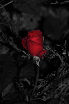 ˚Red Rose