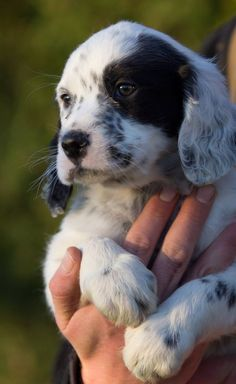 The Upperwood Working English Setter