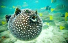 The most beautiful fish living under the sea Underwater Creatures, Underwater Life, Under The Ocean, Sea And Ocean, Fish Ocean, Fish Fish, Ocean Beach, Beautiful Creatures, Animals Beautiful