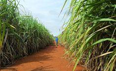 Mudança do tipo de colheita de cana-de-açúcar pode ajudar na luta contra o efeito estufa