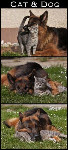 German Shepherd and cat.