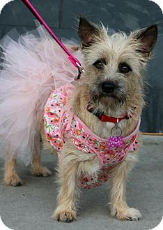 05/16/16 SL~~~Terrier (Unknown Type, Small) Mix Dog for adoption in South El Monte, California - Pumpkin