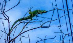 Iguana en los árboles de Tortuguero, Costa Rica