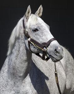 The brilliant Holy Bull -sire of 2005 Kentucky Derby Winner Giacomo