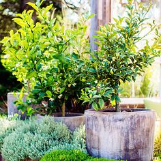 Citrus experts from Four Winds Growers showed us the best way to repot a citrus tree