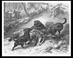 UvU Dachshund. Dog Badger Hunting by L Beckmann, antique engraving, original 1872 ( I own a copy of this one)