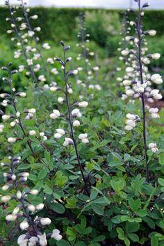 Baptisia White Smok