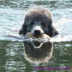 Swimming poodle