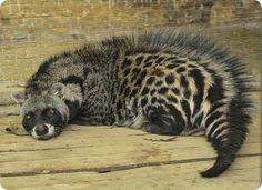 The African Civet (Civettictis civetta) is the largest representative of the African Viverridae. It is the sole member of its genus. African civets can be found from coast to coast across sub-Saharan Africa. They are primarily nocturnal and spend the day sleeping in dense vegetation. During the night, when they are the most active, they can be found in a wide variety of habitat consisting of thick forest to open country… (read more: Wikipedia) (photo: Ellyuzh