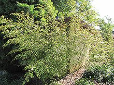 Find Dwarf Weaver's Bamboo (Bambusa textilis 'Dwarf') in Saskatoon, Saskatchewan (SK) at Lakeshore Garden Centres Full Size Photo, Container Plants, Dwarf, Bamboo, Herbs, Garden, Garten, Herb, Gardens