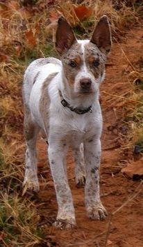 ... on Pinterest   Texas, Australian shepherd and Australian cattle dog