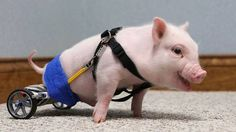 Bacon, the first wheelchair-pig
