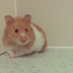 ChocolateColors26 on YouTube is awesome... here is her website. It has the most important parts of owning hamsters...http://chocolatecolors26.wix.com/thehamsteryguide