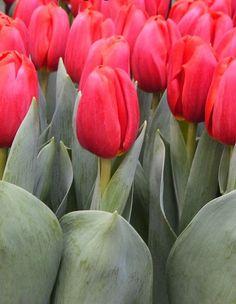 Tulip 'Surrender'