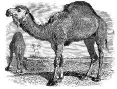 Vintage Clip Art - Lovely Camels - The Graphics Fairy